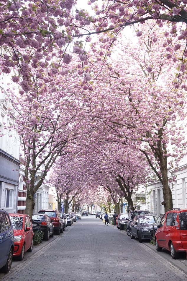 Rua de cerejeiras em Bonn, Alemanha
