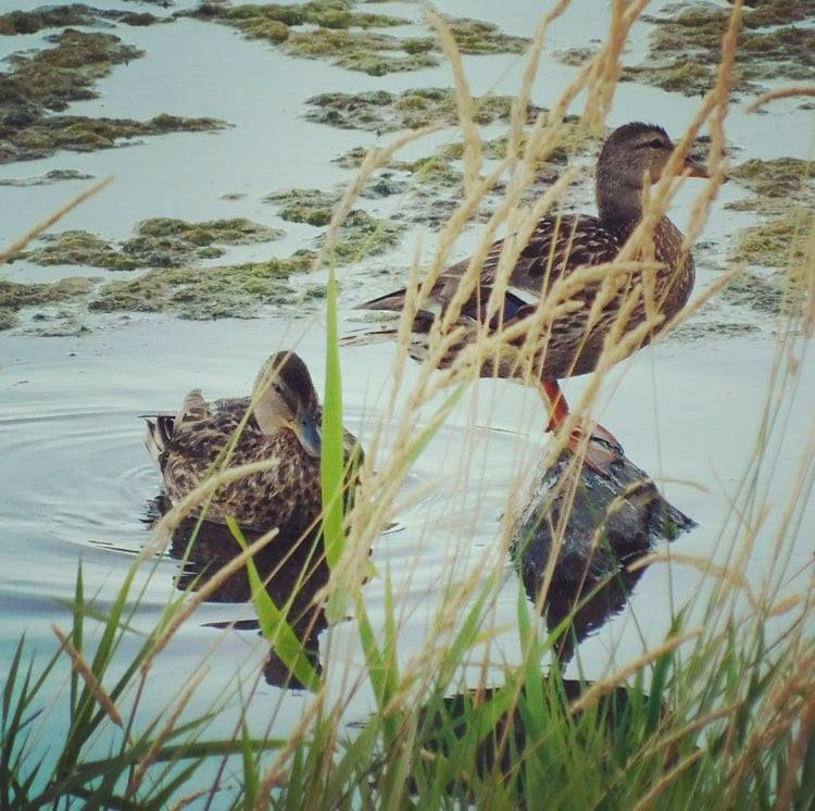 A couple of ducks photobombed my picture of grass.