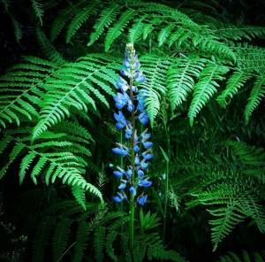 Lupine with bracken fern