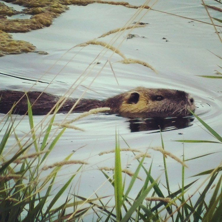 Calvin the coypu enjoys swimming, eating plants, and embroidery.