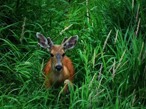 Columbian black-tailed deer