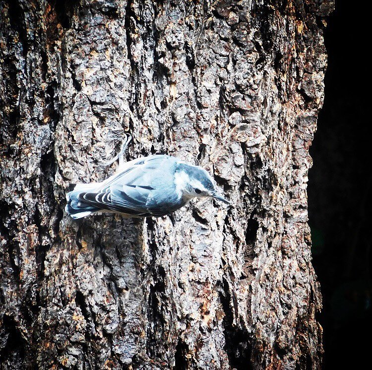 New bird on my list! The white-breasted nuthatch is a celebration of consonant blends, digraphs, and trigraphs, which is to say nothing about the bird itself.