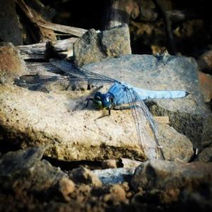 Western pondhawk (dragonfly)