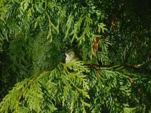 Hummingbird in cedar