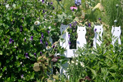 Charming picket fence draped with Clematis 'Rooguchi'
