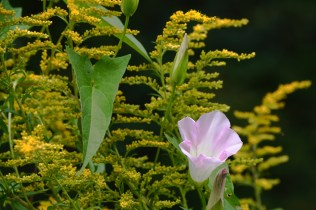 Hedge False Bindweed (Calystegia sepium)