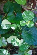Nasturtium (Tropaeolum majus) 'Alaska'