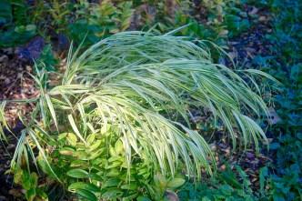 Japanese Forest Grass (Hakonechloa macra 'Aureola')