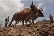 Campesinos arando la tierra para sembrar, donde requieren el fertilizante o abono que año con año les entregan porque de otra manera no hay maíz