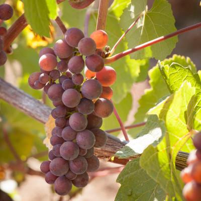 Pinot Gris Grapes at Elk Cove's Estate Vineyard