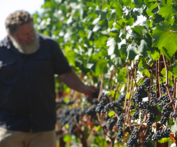 Adam Campbell examines Pinot Noir fruit on grapevines