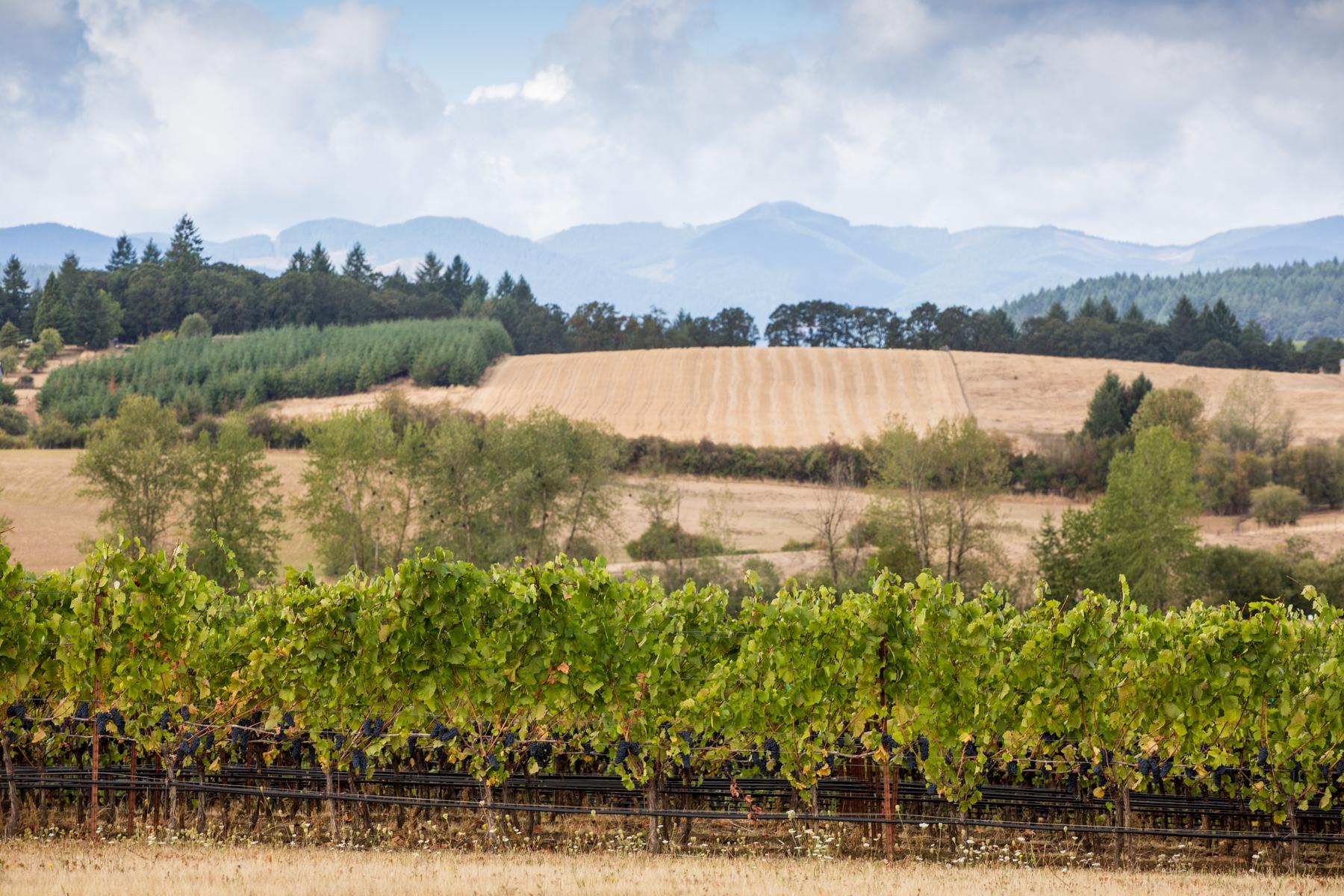 Goodrich Vineyard and wheat fields