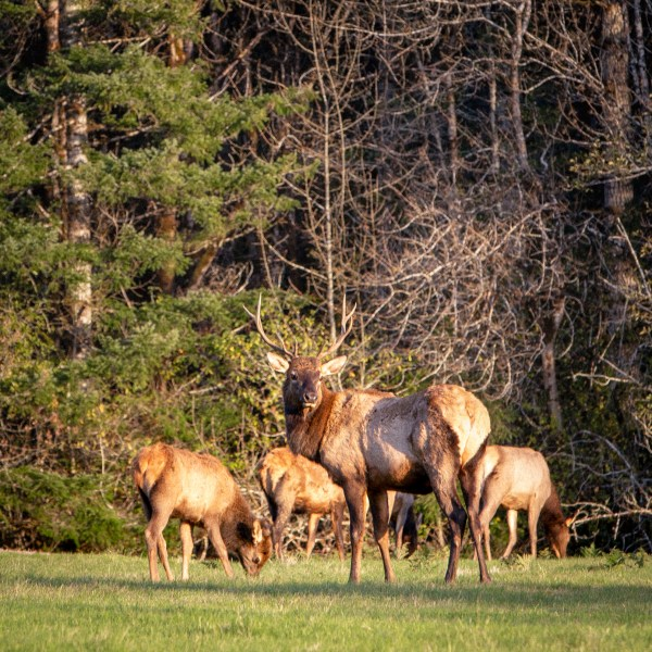 elk herd in woods