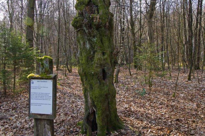 Alter Grenzbaum