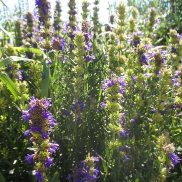 Anise Hyssop Tincture