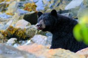 Black Bear, Great Bear Rainforest, Canada