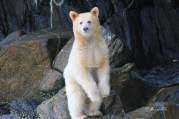 Spirit Bear, Great Bear Rainforest, Canada