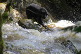 Black Bear Fishing