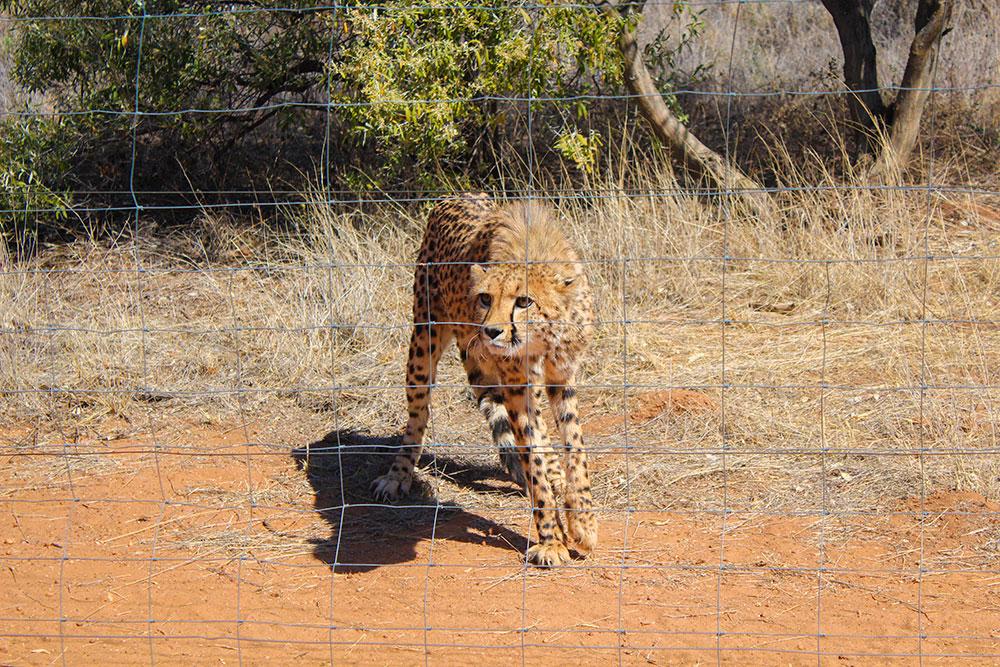 Cheetah at Naankuse Wildlife Sanctuary Namibia