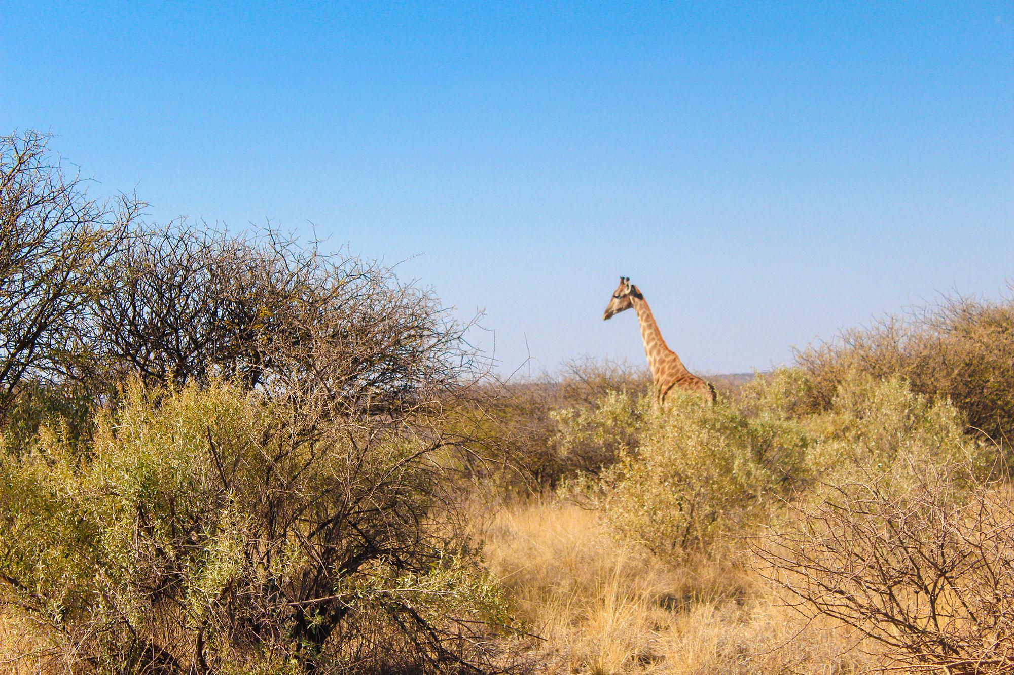 Giraffe at Naankuse Wildlife Sanctuary Namibia