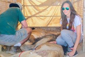 Tranquillised Lion at Naankuse Wildlife Sanctuary Namibia