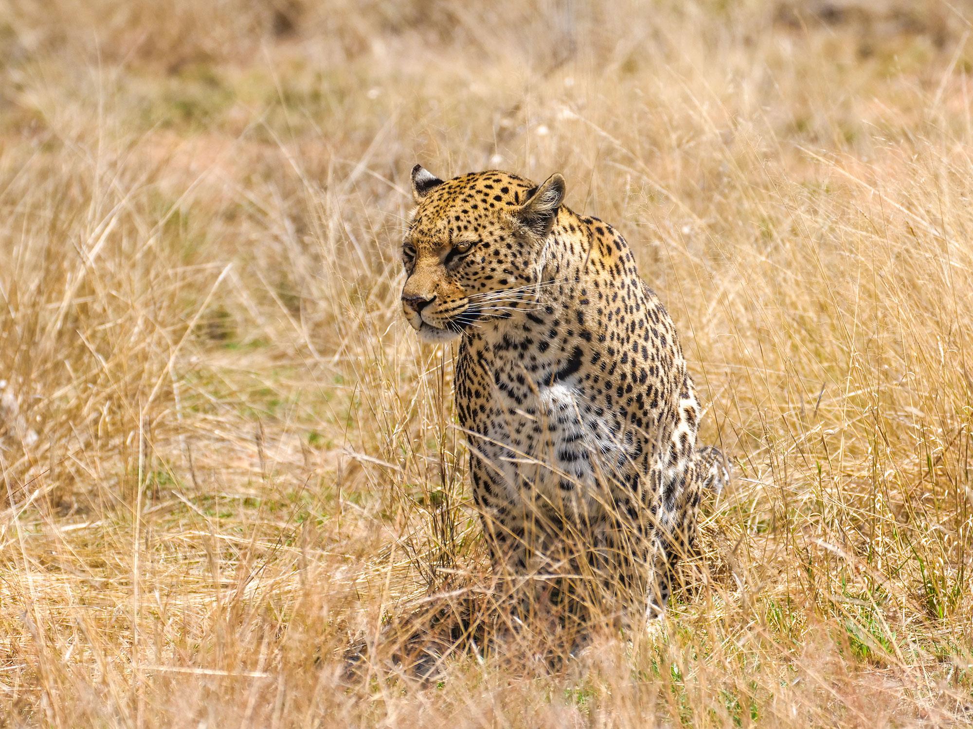 Leopard at N/a'an ku sê (Naankuse) Wildlife Sanctuary in Namibia, Africa