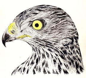 Hawk (c) Ella Johnston Private Commission