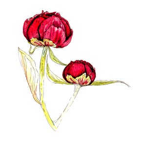 Peony buds, bespoke illustration for a private book (c) Ella Johnston