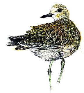 Golden Plover (c) Ella Johnston, watercolour and ink. Commission for Migrant Waders