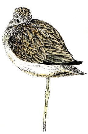 Greenshank (c) Ella Johnston, watercolour and ink. Commission for Migrant Waders