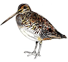 Snipe (c) Ella Johnston, watercolour and ink. Commission for Migrant Waders