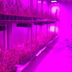 The baby wheat plants at the Kansas Wheat Innovation Center are kept in K-State purple light to help them grow!