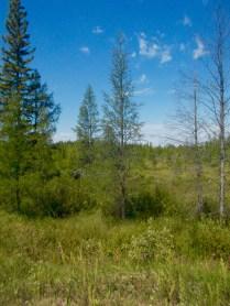 Larch/tamarack trees