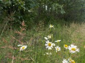Scentless Chamomile?
