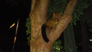 Possum in Sydney