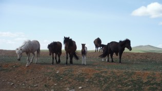Free roaming horses...