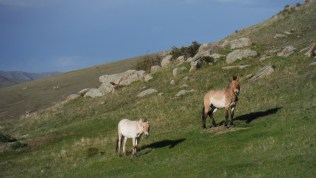 Thaki - or Prewalski horses. Special ones.