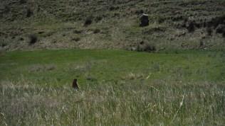 Many marmots here