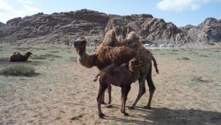 A baby camel! Very rare. Takes 2y until birth