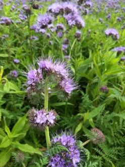 field purple tansy cu Lavigny_051015