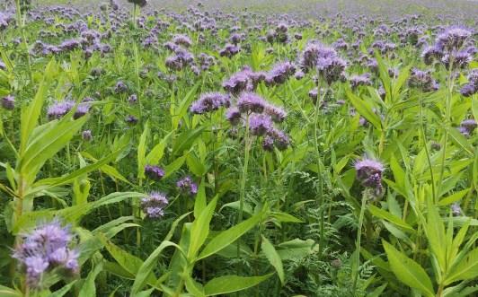 field purple tansy Lavigny_051015