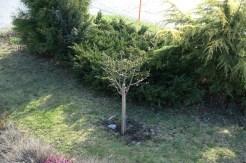 pruned dwarf pear tree_110416