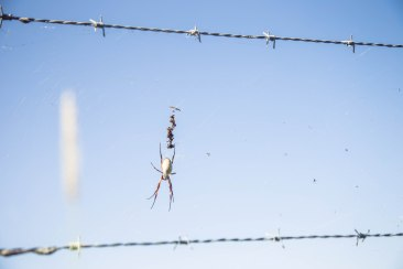 Coordinating Orb Weaver and fence