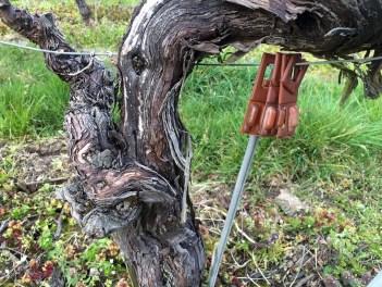 old vine new pheromones sexual confusion_270314