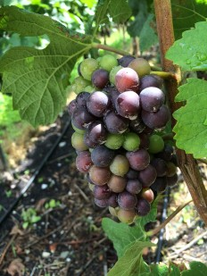 Veraison: Pinot Noir grapes changing colour this week, Rouvinez winery, Sierre, Valais
