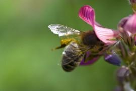 bee_flower_swiss_alps_180610