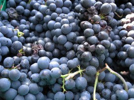 Pinot Noir grapes, freshly harvested in Vaud