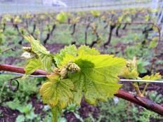 New grapes Salgesch/Salquenen, perhaps Pinot Noir? https://www.google.com/search?q=pinot+noir+leaf&tbm=isch&tbo=u&source=univ&sa=X&ei=cENHVc2hMJSxafeLgDg&ved=0CB0QsAQ&biw=1440&bih=713