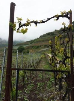 vineyards Salgesch Valais3_020515