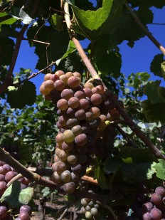 Pinot Gris grapes as they change: the veraison, next to the Rhone River, Valais, 30 August 2015